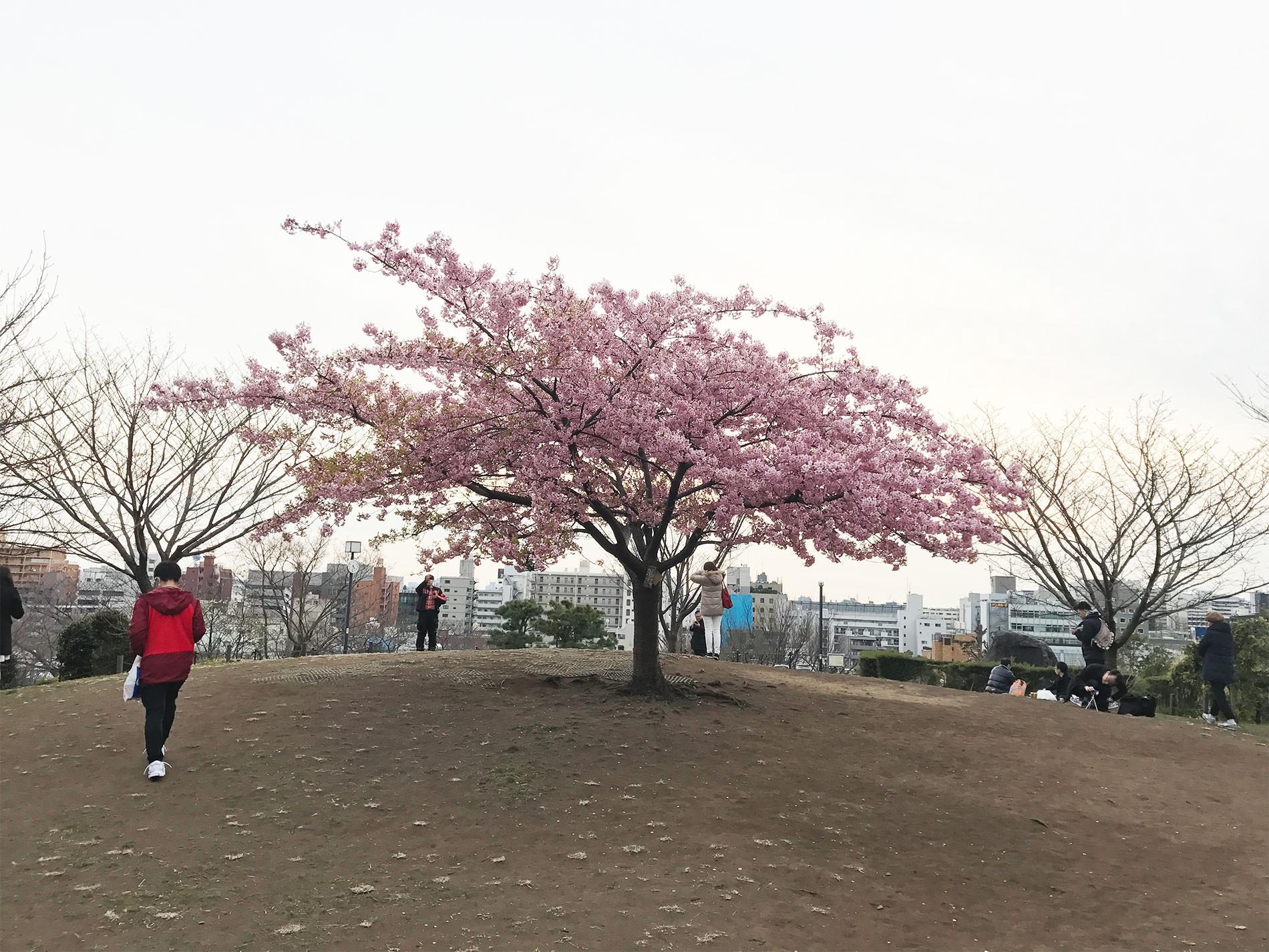 西郷山公園の河津桜 2017