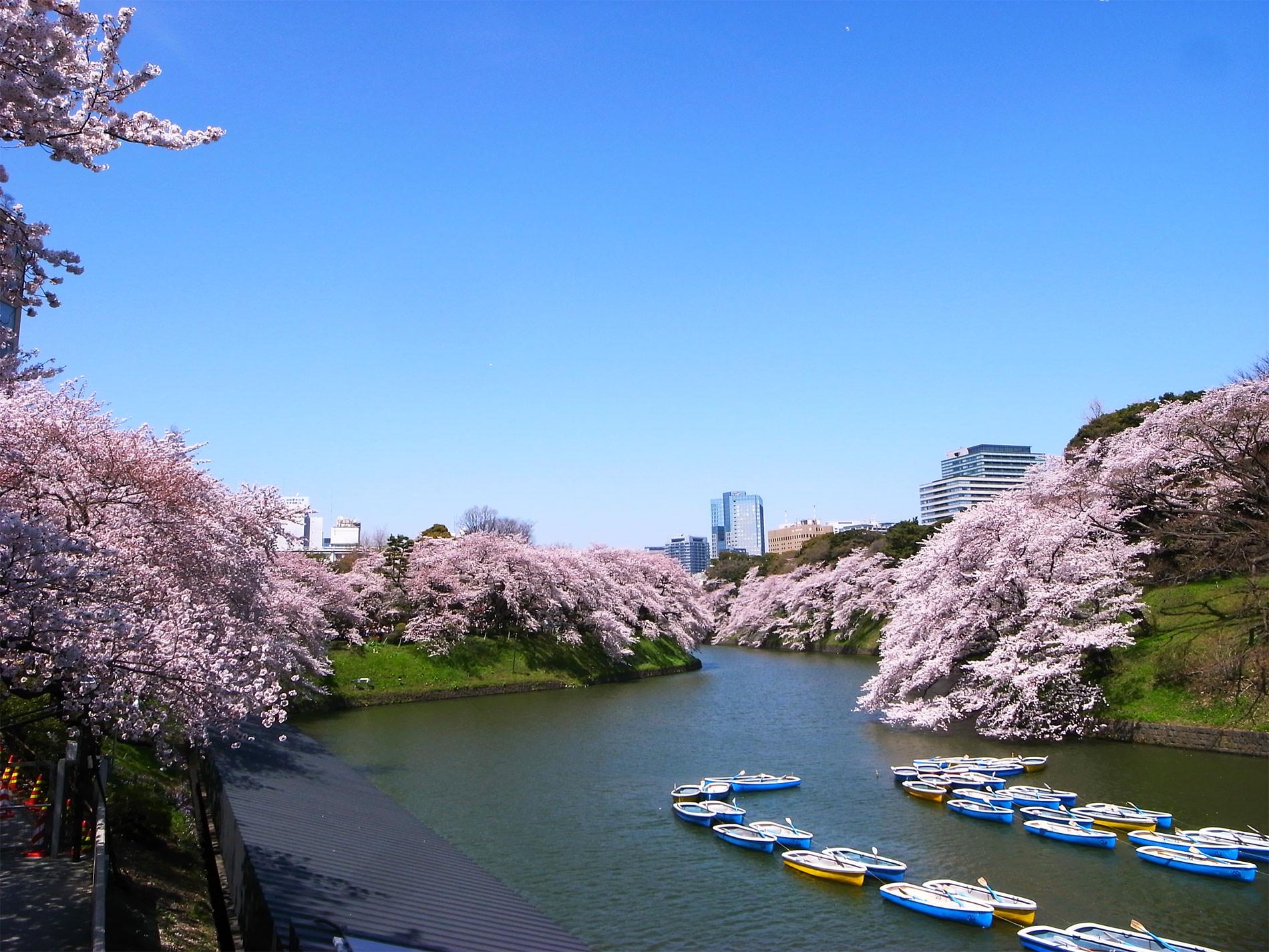 桜_千鳥ヶ淵_2015 | Sakura, Chidorigahuchi, Tokyo in 2015